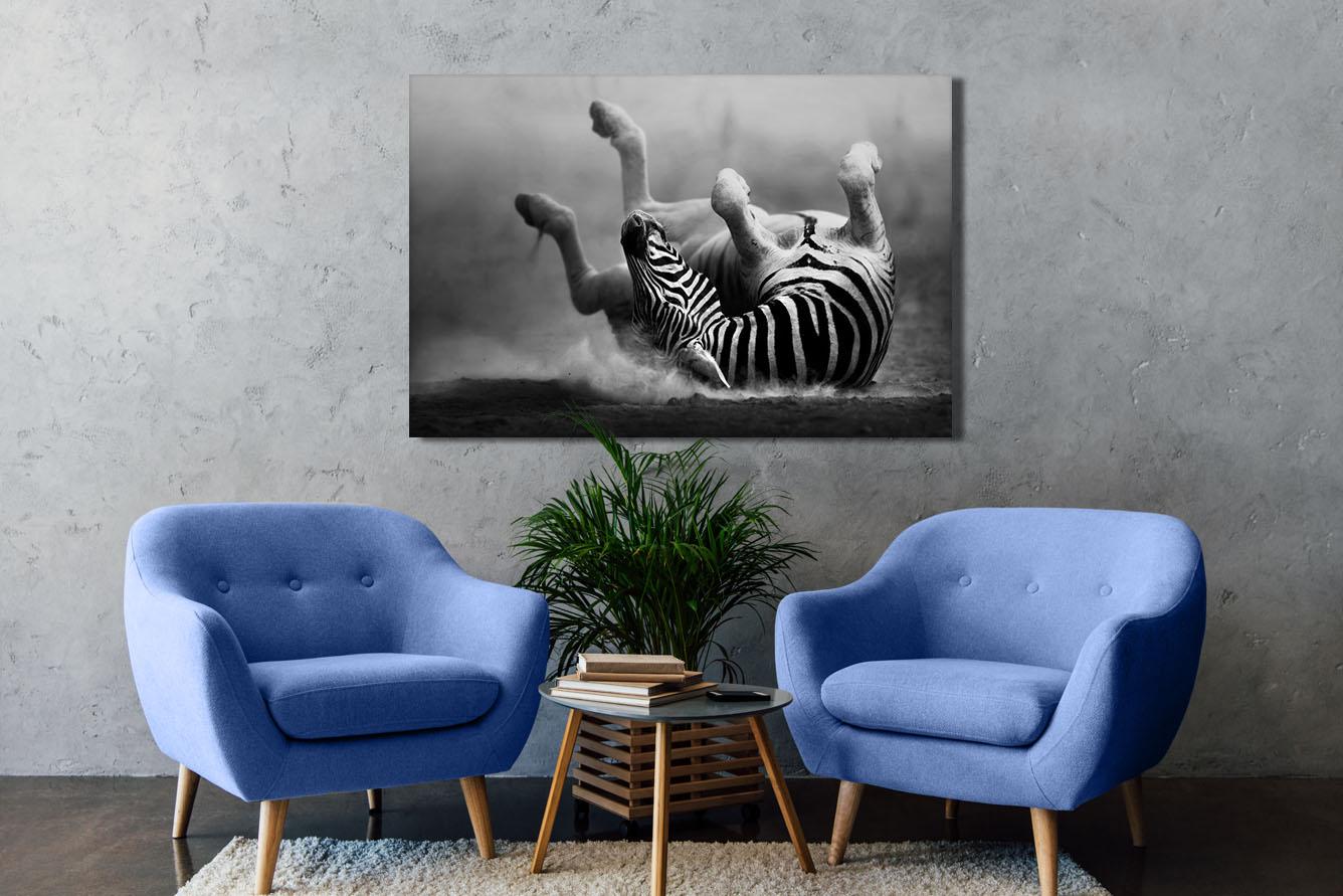 Zebra rolt in het stof