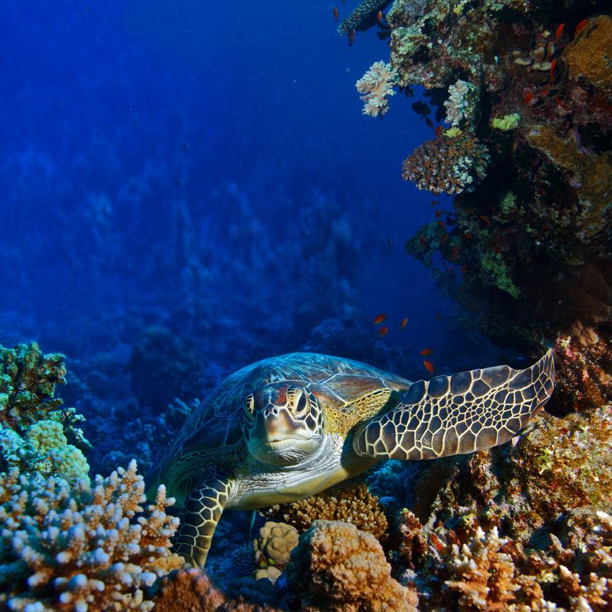 Rode zee duiken van grote zee schildpad