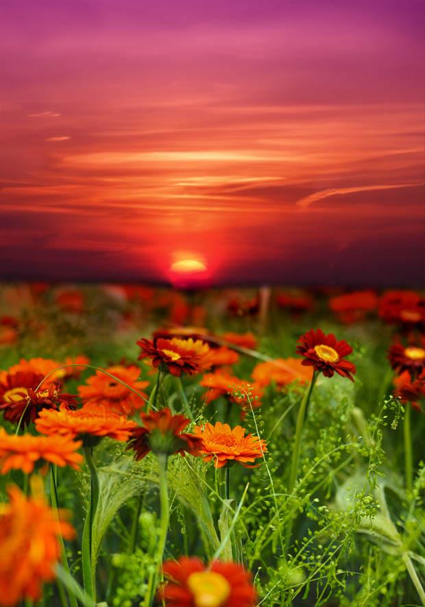 Zonsondergang bloem veld