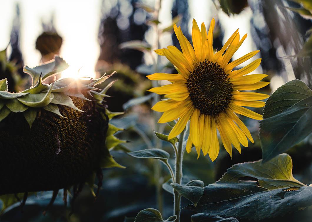 Close-up van zonnebloemen