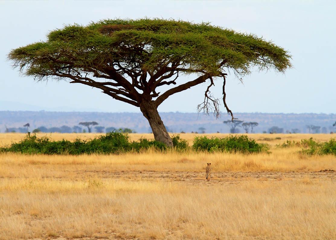 Landschap met acacia-boom en Luipaard