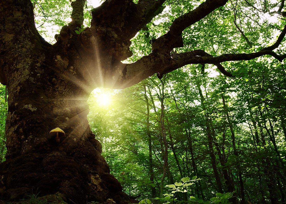 Oude boom in het bos