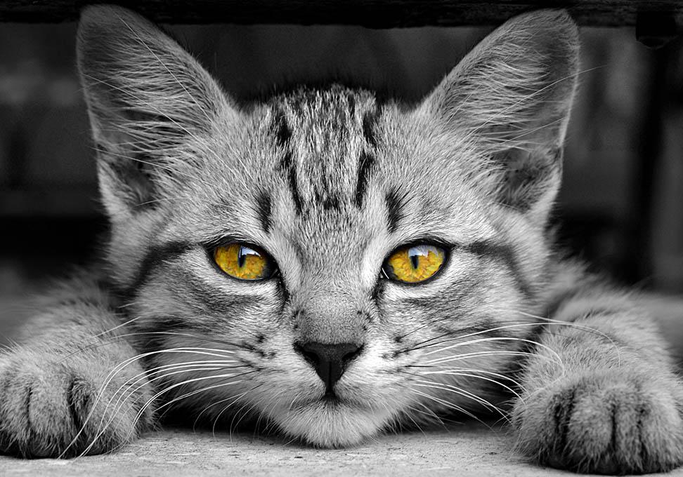Kat met gele ogen