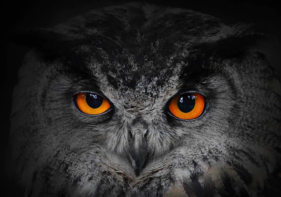 Uil met oranje ogen