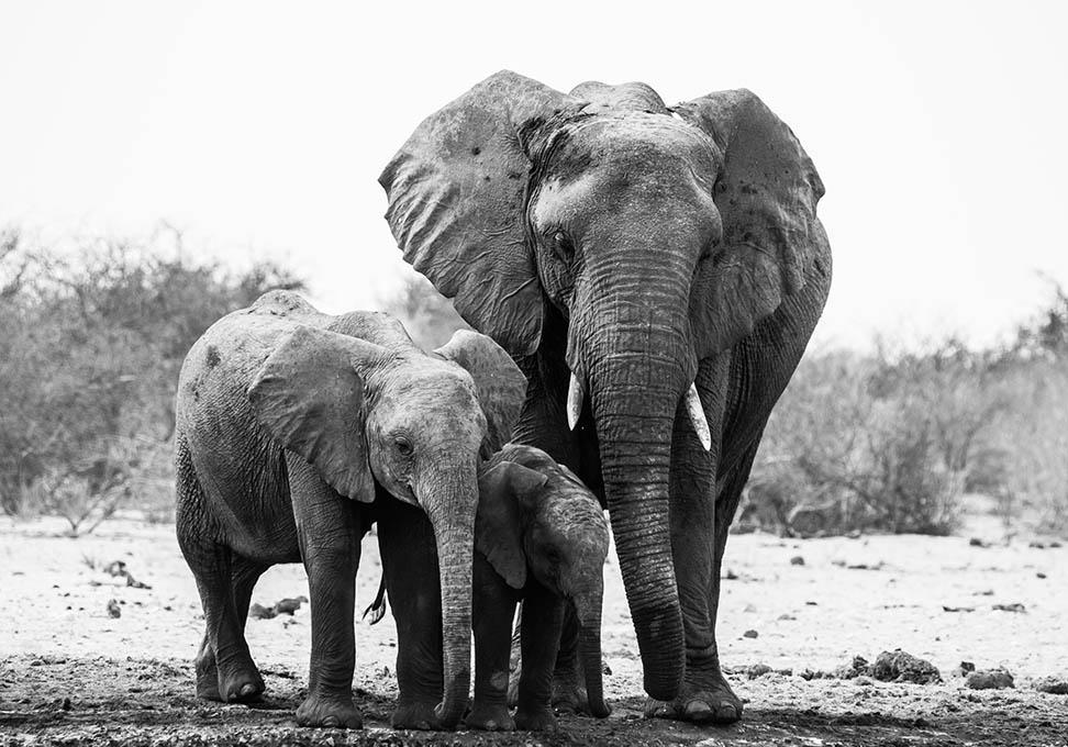 Olifant familie in zwart-wit