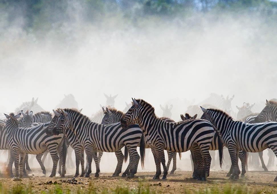Kudde zebra's in haar habitat